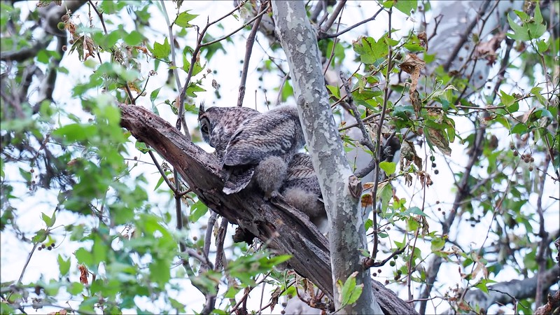 Big Chico Creek Owls.mp4