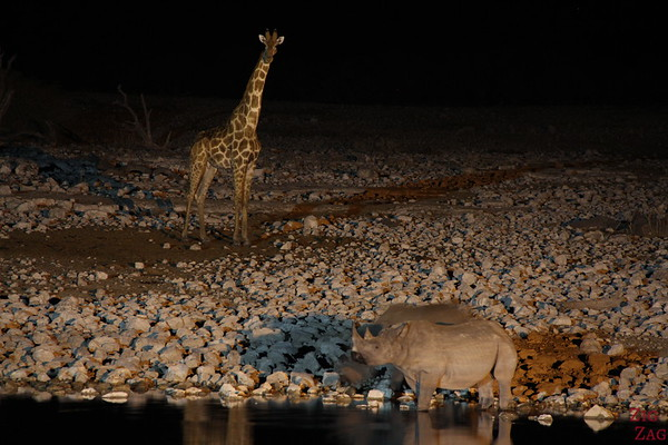 Giraffe at night in Etosha National park , Namibia