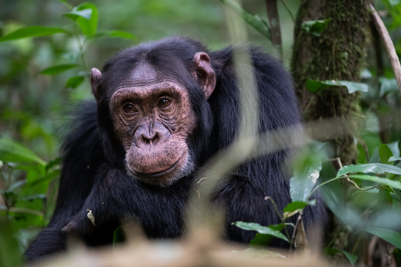 Uganda_T_Chimps-603.jpg