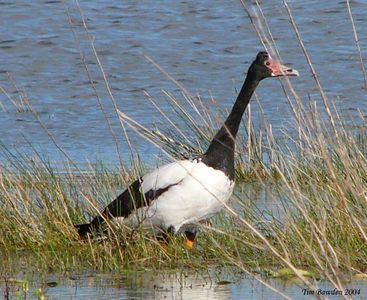 Birds - Ducks, Geese, Swans