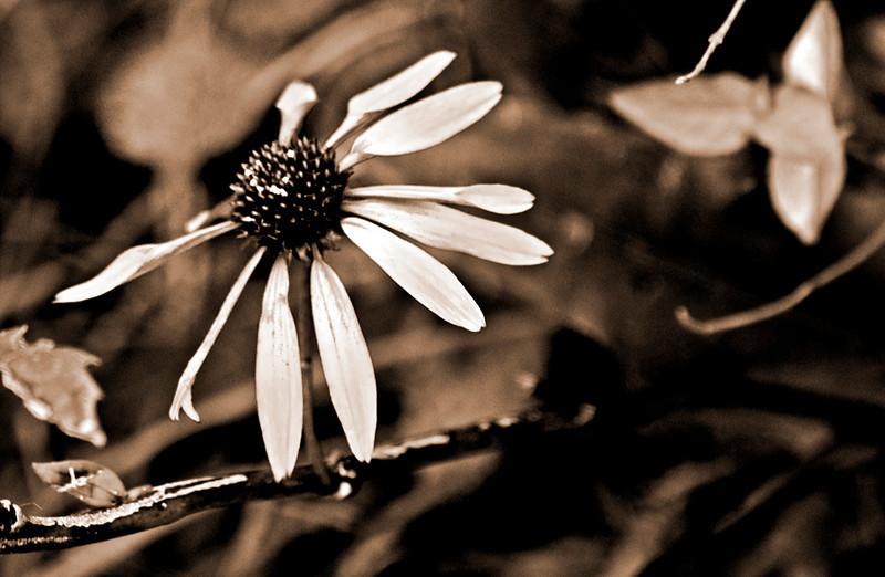 clip-015-flower-wdsm-17sep11-sepia-5874.jpg