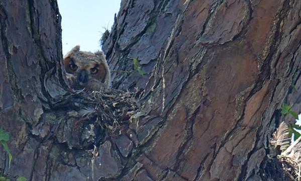 Great Horned Owl Multiple Dates