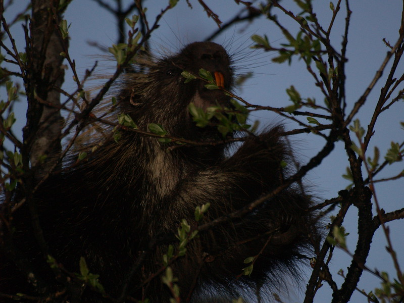 Porcupine nibbling on new leaves.
