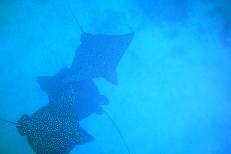 Spotted Eagle Rays.jpg
