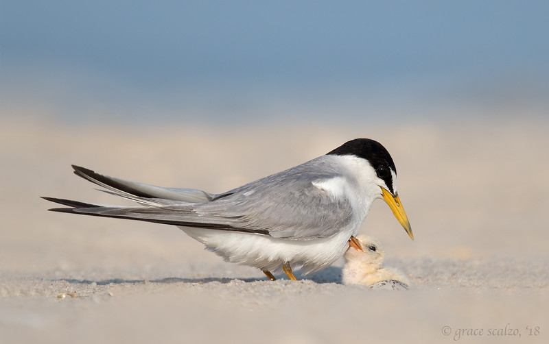 Least Tern Chick and Egg