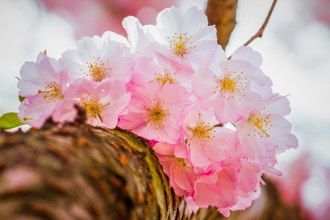 樱花,老树嫩花