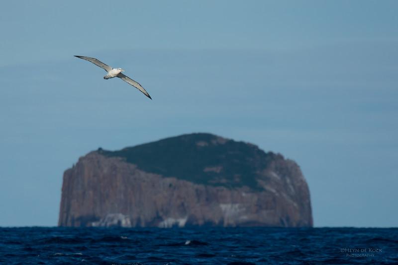 Shy Albatross, Eaglehawk Neck Pelagic, TAS, July 2015-6.jpg