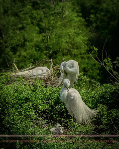 Great Egret parents preen while nestlings look on, Smith Oaks rookery, High Island, TX