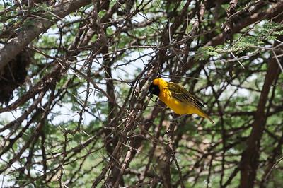 Weaver, Lesser Masked (spp intermedius)