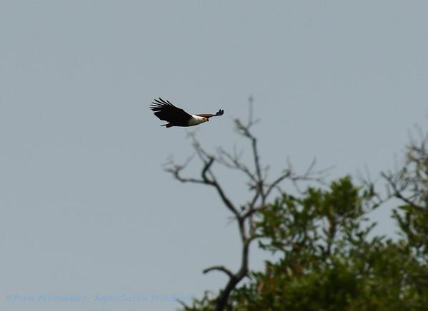 Afrikaanse zeearend; African fish eagle; Haliaeetus vocifer; Visarend; Schreiseeadler; Pygargue vocifer
