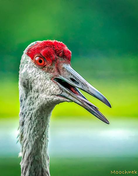 A cool Sandhill Crane