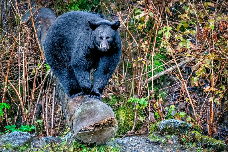 Black Bear - Sitka