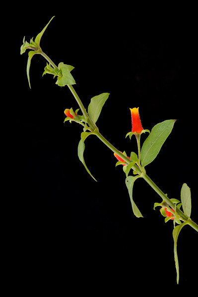 Candy Corn Vine, I grew these for the Hummingbirds and they were a big hit with them, bloom late into the fall. Easy to grow from cuttings