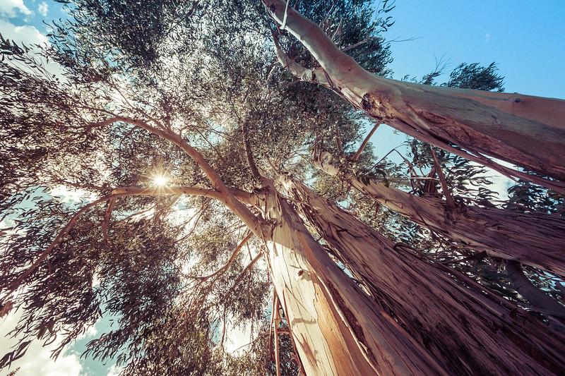 Riverside Eucalyptus Trees in Peru
