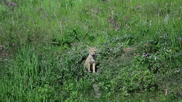6 2013 Jun 28 Coyote Pup Videos*