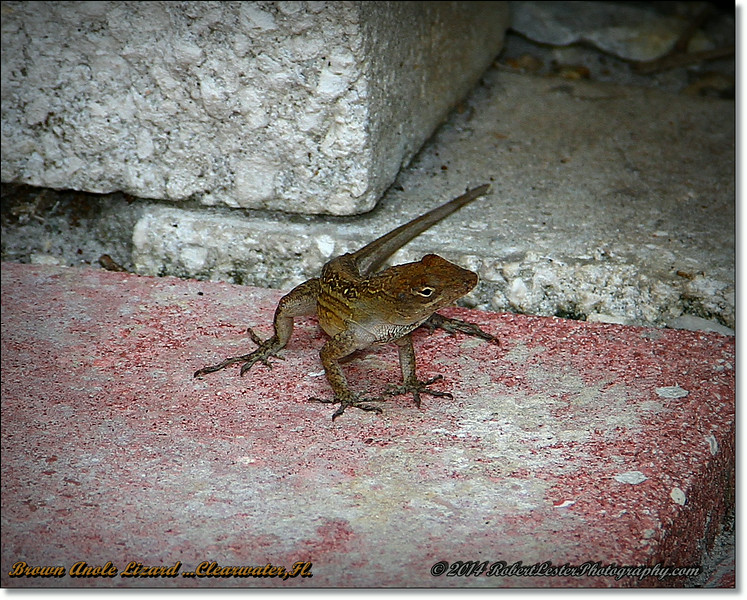 2014-06-23_IMG_4115_Brown Anole Lizard  ...Clearwater,Fl._.JPG