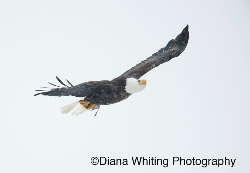 03_02_2019bald eagles_227 copy.jpg
