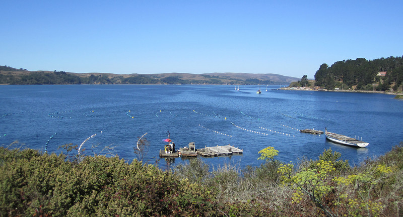 Mollusk mariculture (Tomales Bay)