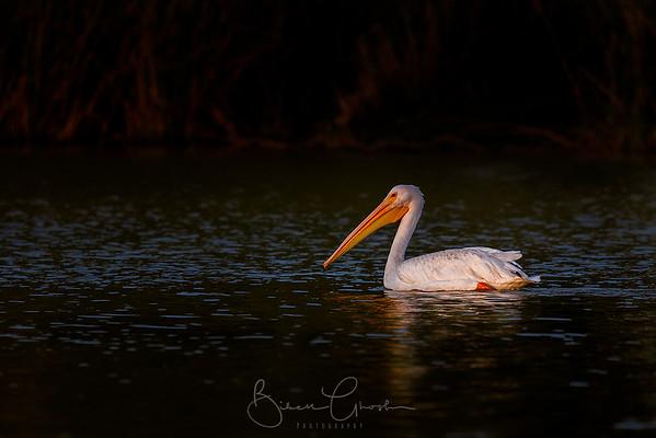 Pelican Brief(case)