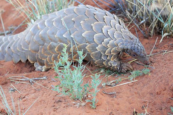 Pangolin Tswalu South Africa 2016