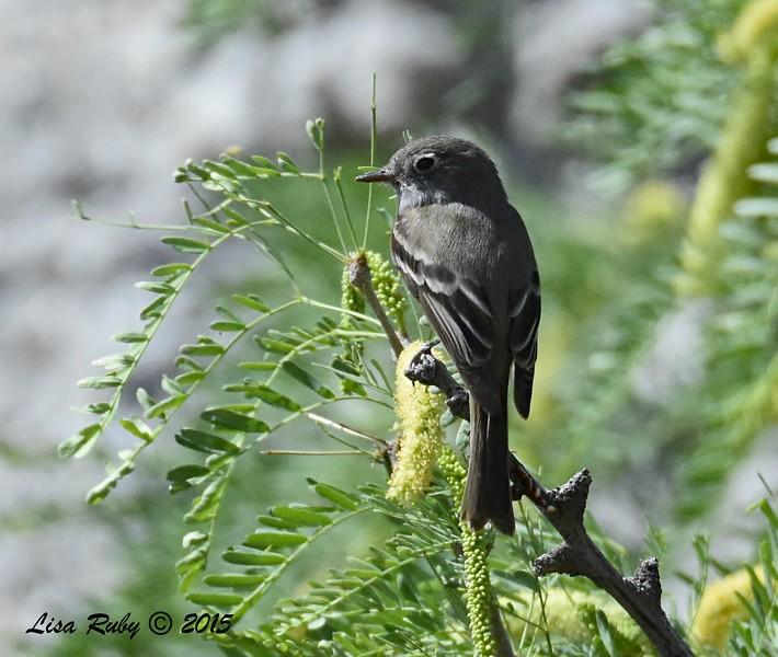 Hammond's Flycatcher - 4/5/2015 - Marsh Trail, Agua Caliente