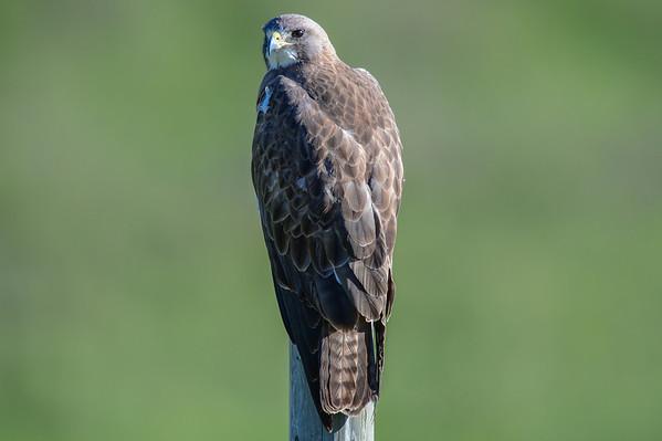 6 2013 Jun 1 Swainson's Hawk