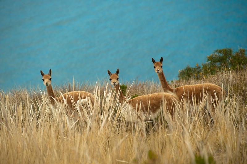Wild Vicuñas