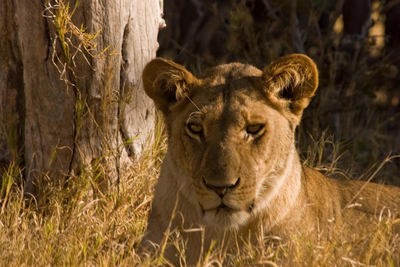 Lioness1.jpg