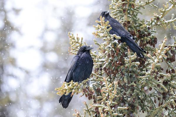 3 2013 Mar 12 Ravens Being Ravens