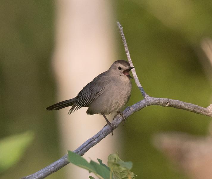 Gray Catbird Lee Vining 2020 07 25-7.CR2