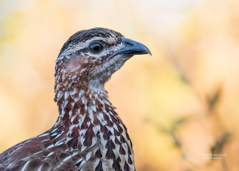 Crested Francolin, Zimanga, South Africa, May 2017-3.jpg