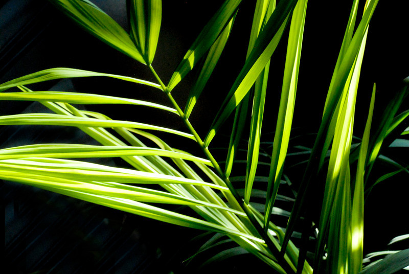 2011/6/5 – I'm a little lazy on Sundays when it comes to photos. This is a plant in the house with the sun streaming in the window late in the afternoon/early evening. I liked the contrast of bright greens from the back lit fronds and the dark background.