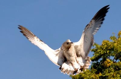 Gulls 8-18-2013