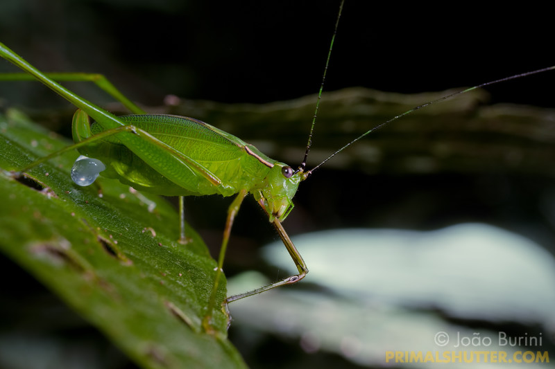 Engonia katydid (Phaneropterinae) carrying an spermatophore, in Intervales State Park, Brazil. South-east atlantic forest reserve, UNESCO World Heritage Site.