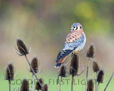 Falcons, Kestrels & Caracara