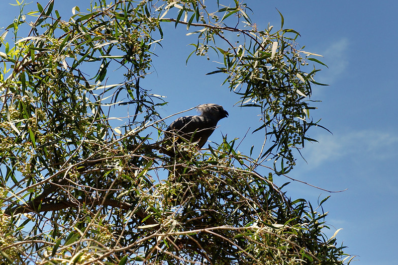 Go-Away Bird - Namibia