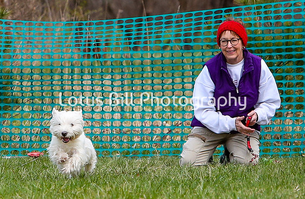 West Highland Terrier 2 DH