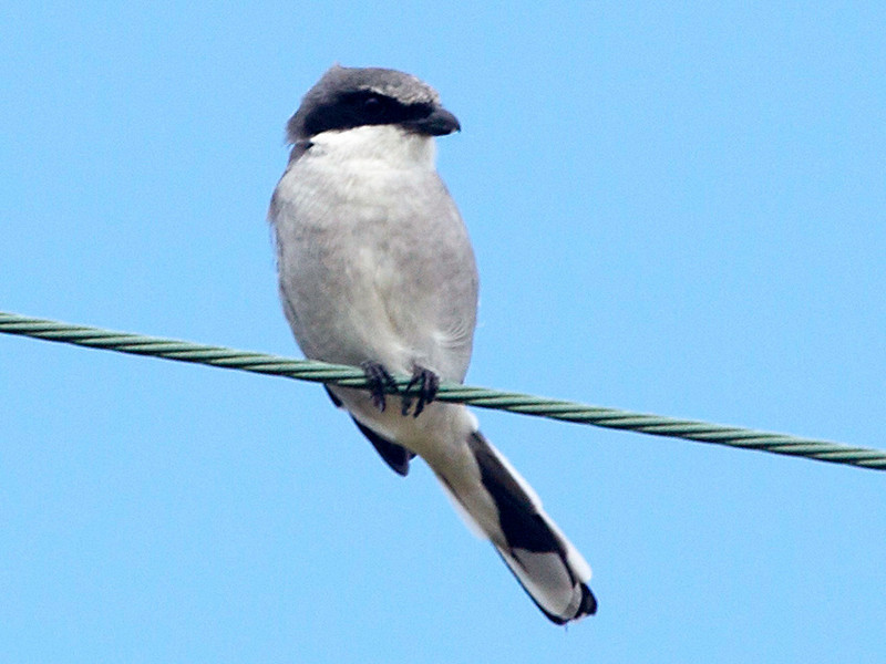 A Loggerhead Shrike looks on.
