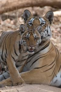 India's National Parks Pench, Kanha, Bandhavgarh