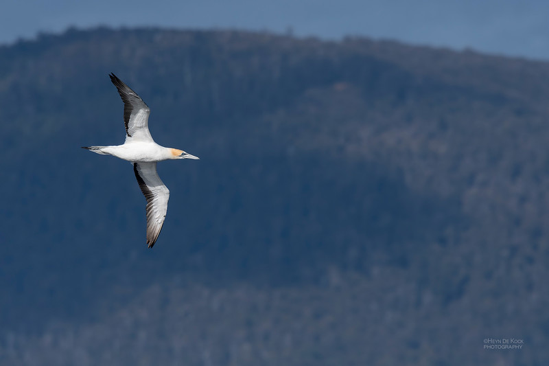 Australian Gannet, Eaglehawk Neck Pelagic, TAS, Dec 2019-1.jpg