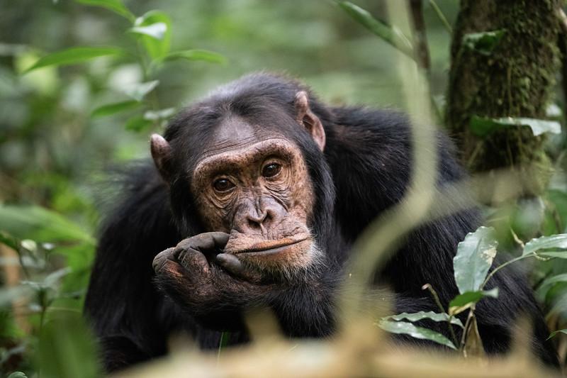 Uganda_T_Chimps-641.jpg