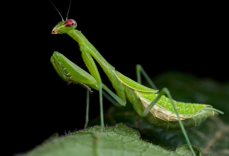 Praying mantis (Miomantis sp.?)