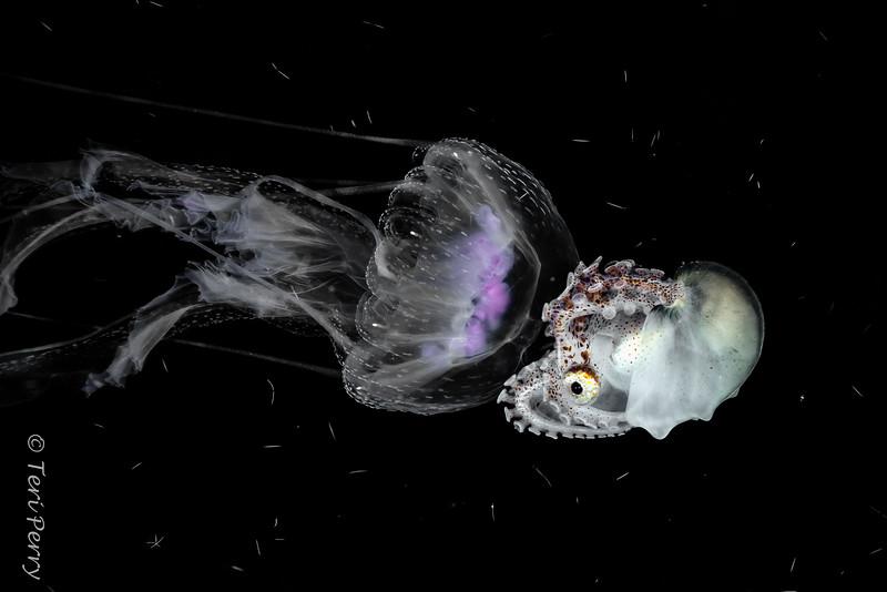 "BLACKWATER - Argonauta ""paper nautilis"" and jellyfish-4736-Edit.jpg"