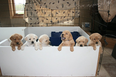 Fifth Week with the Puppies