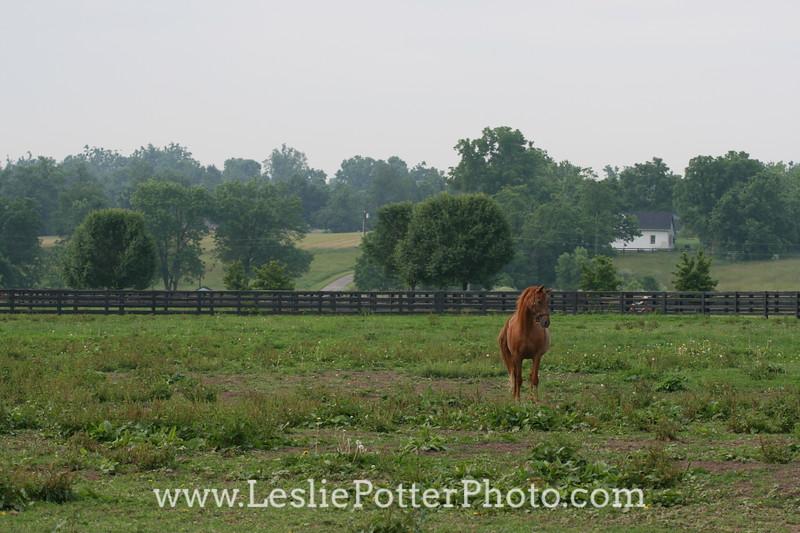 Chestnut Saddlebred Horse in Pasture