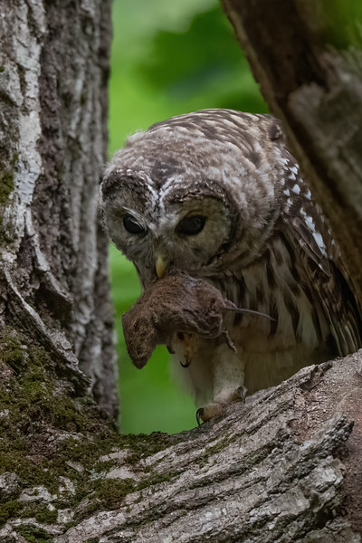 #1702 Barred Owlet