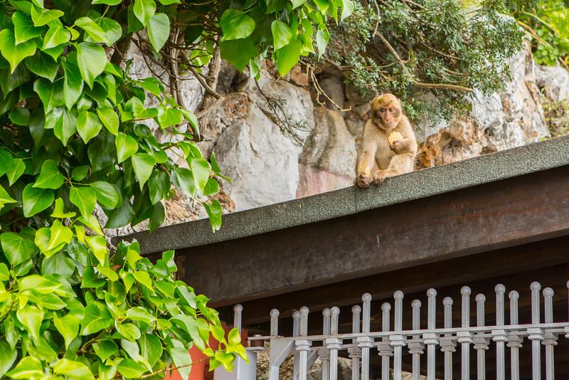 Monkeys on Rock of Gibraltar