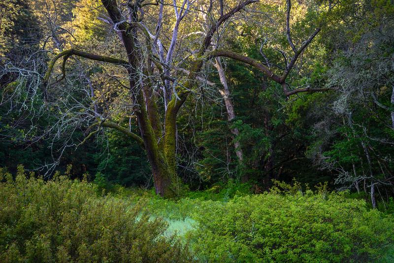 Big_Tree_Mossy_Tree_DSC6079.jpg