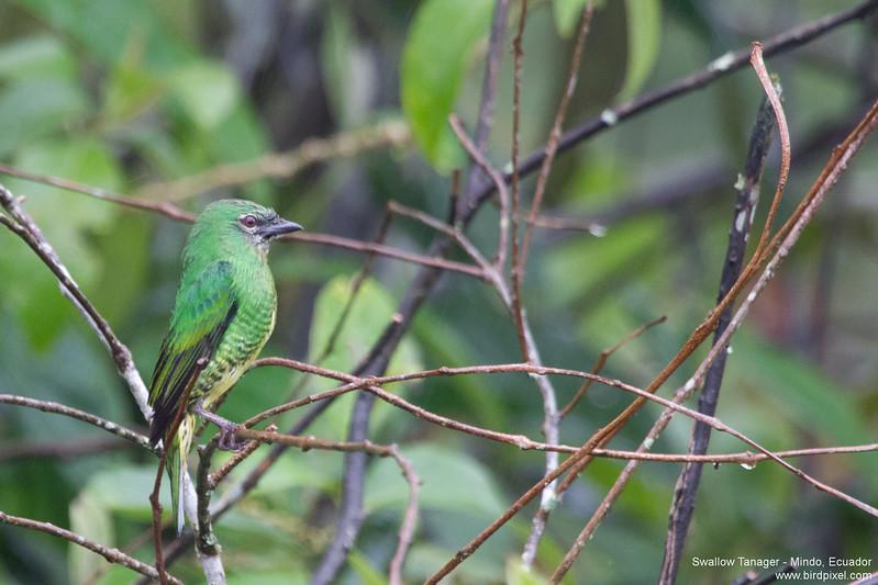 Swallow Tanager - Mindo, Ecuador