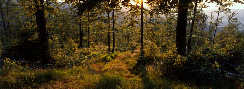 Golden summer evening in the forest
